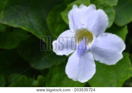 Bengal trumpet, Thunbergia grandiflora, Central of Thailand
