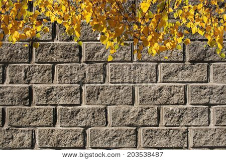 Autumn background. Hanging from the top sunlit birch branches with bright yellow leaves on background of gray concrete wall with imitation of brickwork.