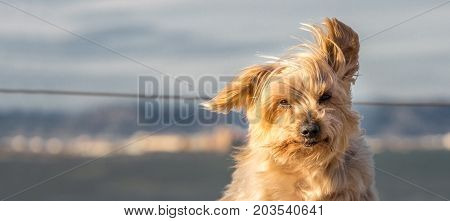 Funny dog with curiosity expression. Copy space, blurred nautical background. Doggy hairy ear flying in the wind, nose and snout, Yorkshire Terrier brown.