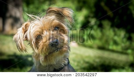 Dog curiosity expression raising his ears tilting his head. Copy space, blurred green background. Doggy hairy ear, nose and snout, Yorkshire Terrier brown.