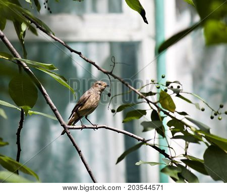 Female Redstart Sitting On A Tree Branch