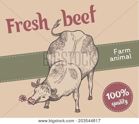 Label of retro style. Cute cow is eating flower vector illustration. Front view. Sketch style.