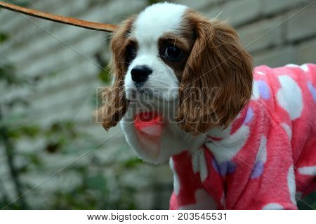 portrait of a dog, breed cavalier king charles spaniel