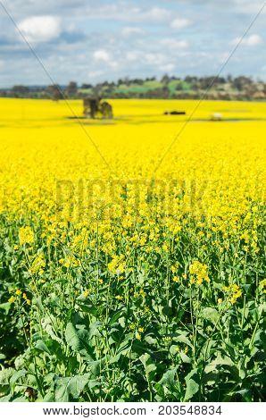 Field of golden canola crops north of Benalla in north-eastern Victoria Australia