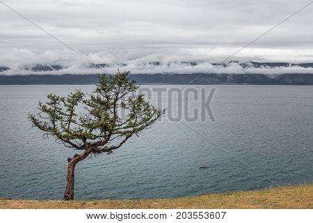 Lonely beautiful curved coniferous tree with colored tapes tied to the trunk according to the Buryat tradition on the coast of Olkhon Island near Lake Baikal on a mountain scenic background.