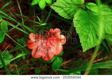 Autumn red leaf. A bright sheet of red color surrounded by green leaves. Autumn in the European forest. The leaves are berries of shrubs. Thin blades of grass and ribbed leaves.