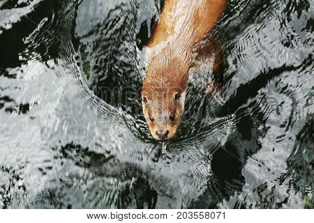 Eurasian otter in water/ The Eurasian otter Lutra lutra, also known as the European otter, Eurasian river otter, common otter, and Old World otter, is a semiaquatic mammal native to Eurasia. poster
