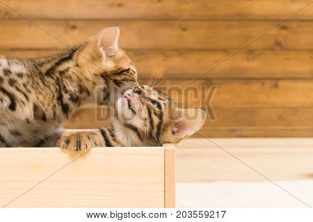two kittens of Bengali breed lick themselves