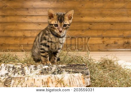 kitten of Bengal breed in dry grass sits on a tree