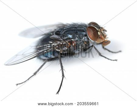 Housefly looking for feed side view isolated on white background