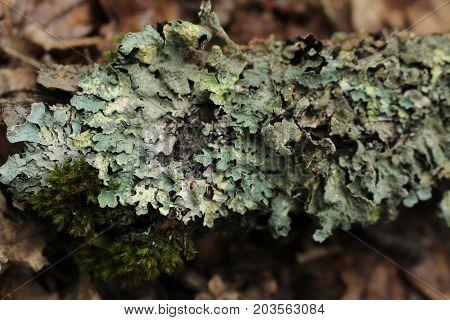 Lichen - Hypogymnia physodes/ Hypogymnia is a genus of lichenized fungi within the Parmeliaceae family