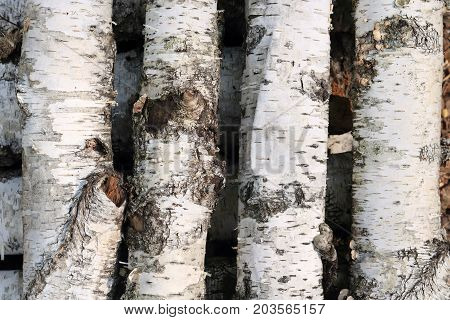 natural background with birch tree bark texture