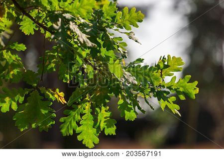 Early autumn green oak leaves and sky background. Fall season trees with green foliage bokeh, forest in nature.