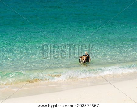 Happy dog crystal turquoise green sea ocean clear water at Lipe Island Satun Thailand.