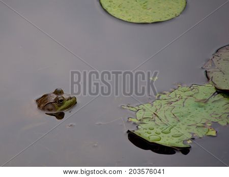 A bullfrog laying with his head out of the water among the lily pads of a pond