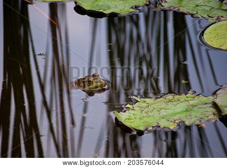 A bullfrog with only his head exposed out of the water of a pond in the reflections or the reeds