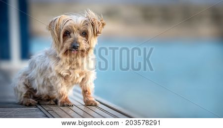 lovely and funny dog with curiosity expression. Copy space, Isolated blurred background. Doggy hairy ears, nose and snout, Yorkshire Terrier brown.