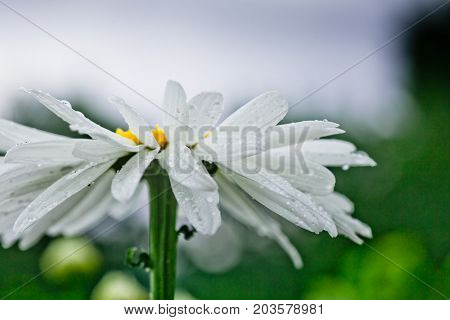 Leucanthemum maximum Shasta daisy max chrysanthemum Crazy Daisy daisy wheel daisy chain chamomel gang bang in the garden in the flowerbed. One flowers of large white chamomile with drops of dew or rain on petals.