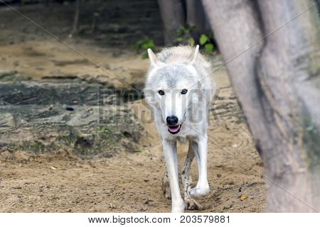 Female Polar Wolf Rescued From The Trap, Forever Left Lame
