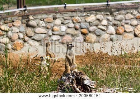 A Family Of Meerkats Got Out Of The Hole Early In The Morning