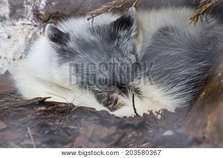 White Fox Sleeping Under Tree In Auyuittuq National Park Canada