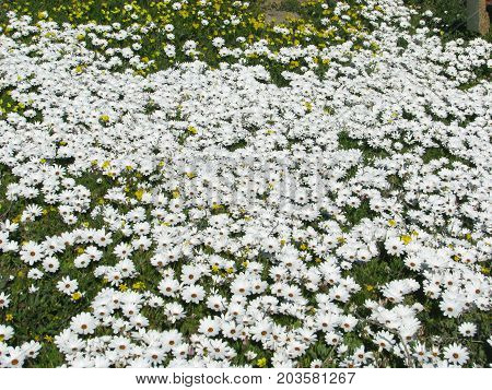 WHITE AFRICAN DAISIES GROWING WILD ALONG THE WEST COAST OF SOUTH AFRICA