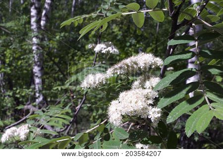Flowers Of Mountain Ash On A Birch Grove Background