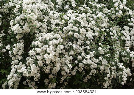 Swan Lake Spirea Shrub, Studded With Tassels Of White Flowers