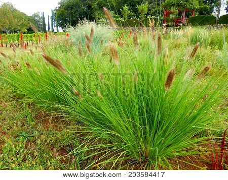 Clumps of Pennisetum Alopecuroides growing in a wild flower meadow. Also known as Fountain Grass, Chinese Fountain Grass and Foxtail Grass.