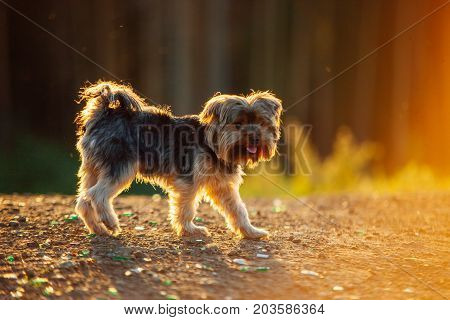 Yorkshire Terrier Looking At Camera In Sunset Backlight. Small Cute Dog Playing Outdoors.