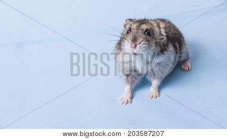 Grey dwarf hamster Gray Hamster macro stands