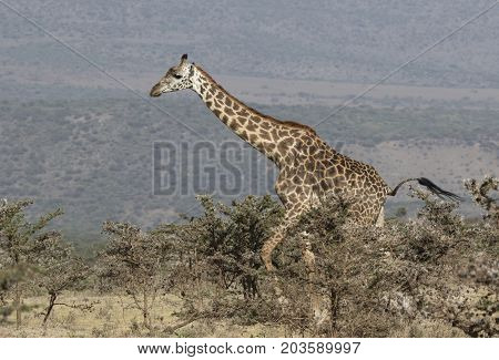 adult giraffe walking along a bushy savannah on a sunny afternoon amid the of the Ngorongoro crater