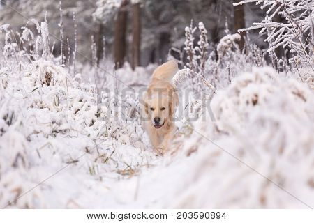 Golden Retriever Dog Playing In The Snow Field, A Dog In The Winter In The Snow