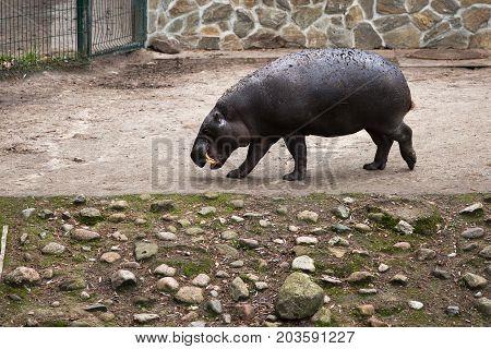 Hippo Walks On The Paddock And Bares His Teeth, Zoo,