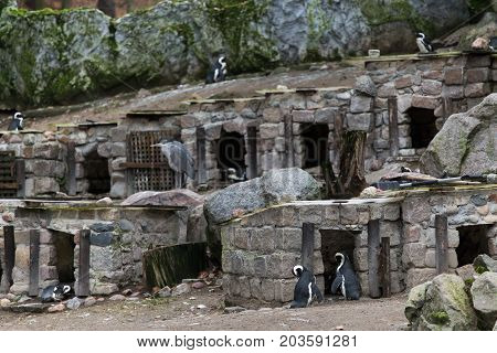 Town Penguins At The Zoo Small Houses On A Slope