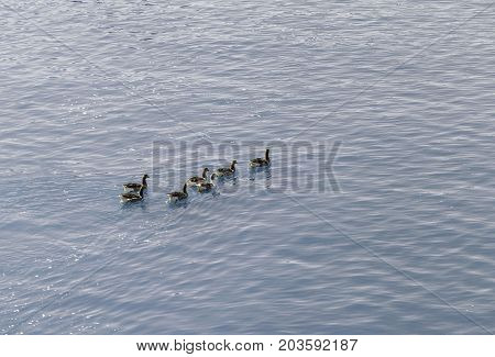 On the river Guadalquivirin tis blue waters we see swimming formando a group of seven ducks bronw and white.