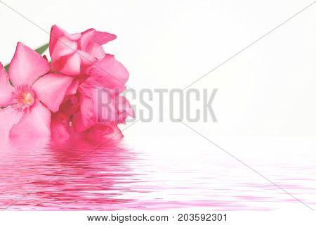 Pink oleander flowers close up isolated on white background with water reflections. Copy space