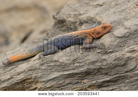 male red-headed rock agama hiding in the rocks on the rocky bank of the Nile River