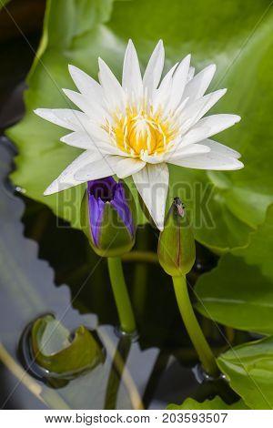 White lotus flower on water close up.