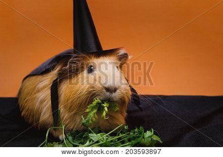 Portrait of cute red guinea pig in cute halloween costume.