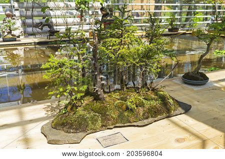 MOSCOW RUSSIA MAY 18 2017: Norway spruce - Bonsai in the style of