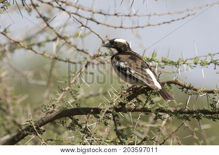 white-browed sparrow-weaver that sits on a branch of acacia in the African savannah on a hot day