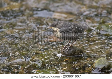 Dipper, Juvenile, Perched On A Rock In A Stream, Close Up