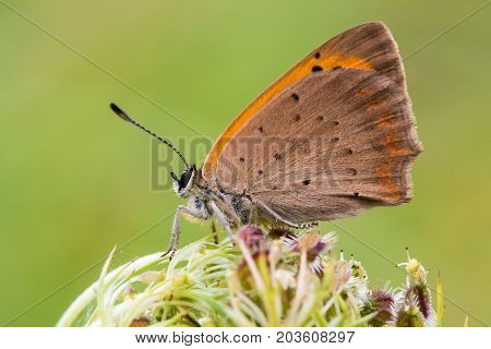 Small copper butterfly (Lycaena phlaeas) at rest in profile. Small butterfly in the family Lycaenidae with underside of wings visible