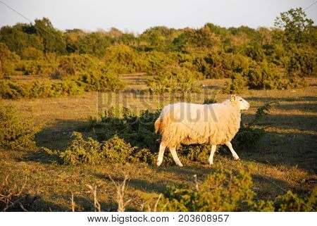 Walking sheep in a landscape with junipers at the swedish island Oland