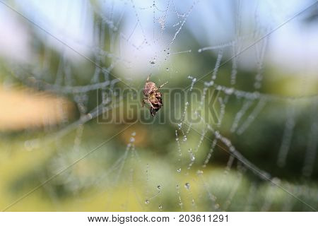 Little Spider Wrapping Bug in Silk in his Web before he Eats Him.