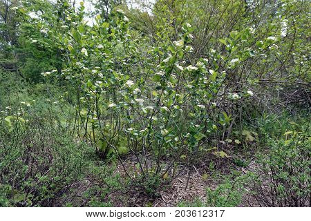 A dotted hawthorn bush (Crataegus punctata), also called the white haw, blooms in Petoskey, Michigan during May.