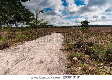 Sandpath in a pine forest with a lone birch tree. Nature landscape in the Netherlands with beautiful flowering heath full of purple flowers. Impressive white clouds with blue skies form a spectacular Dutch cloudy sky. A typical Dutch nature area captured