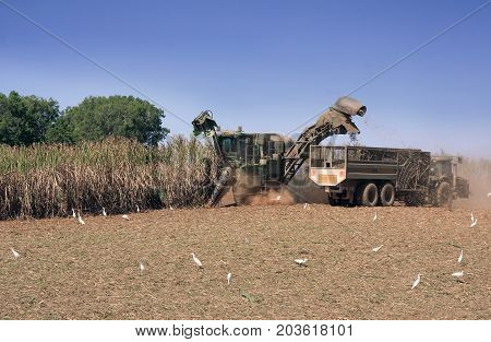 Sugar cane season in Cairns cutting cane with harvester