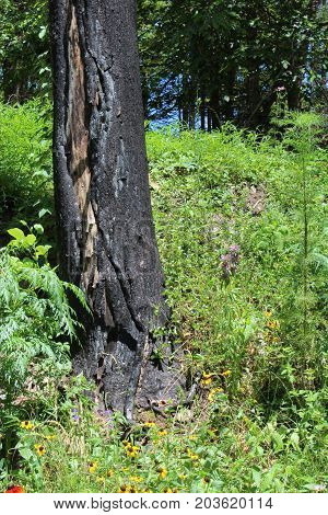 Charred tree trunk following a fire, vertical aspect